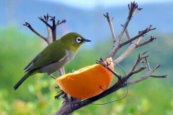 Orange River White-eye, Klein-Brakrivier, Garden Route